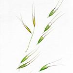 Un acquerello della pittrice botanica Lucilla Carcano