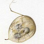 Un acquerello che ritrae una galla della pittrice botanica Lucilla Carcano