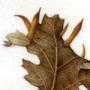 Galle di Cynips cornifex