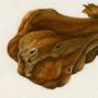 Galla di Eriosoma lanuginosum