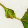 Galle fogliari su Populus nigra