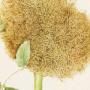 Rosa hybr con galle di Diplolepis rosae
