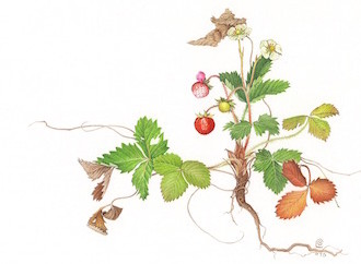 Copia di fragaria300