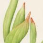 Baizongia pistaciae galls