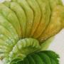 Eriosoma pyricola gall