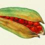 Iris foeditissima