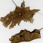 Populus canescens and Pyrus communis