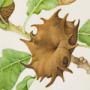 Andricus coriarus gall
